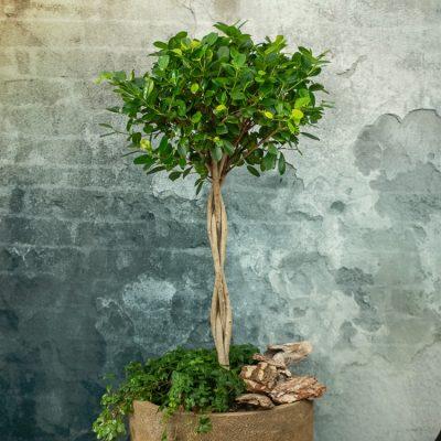Ficus-Dienstleistungen