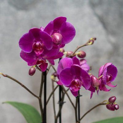 unsere-pflanzenwelt-orchidee